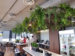 Custom hanging greenery feature installed at Henry Schein Halas' office fitout