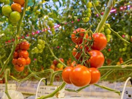 Philips Lighting's first grow light project in NZ to help produce Campari tomatoes