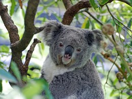 Long-running battle ends in a win for residents, koalas and local council planning rules