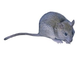 Termitrust protects buildings from rodents with pest management services